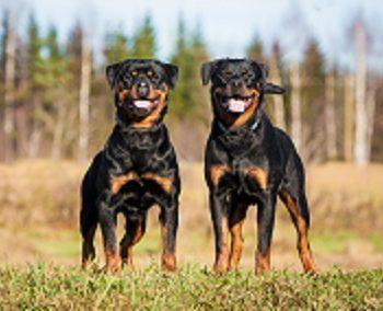 Dog Breeds Home Insurance Companies Don't Like